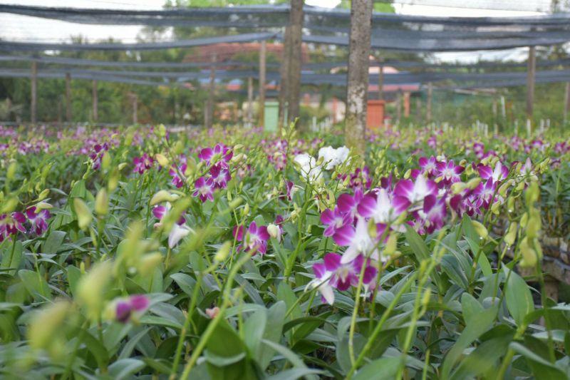 Nhiều giống hoa phong lan đẹp tại Điền Lan Thôn Trang