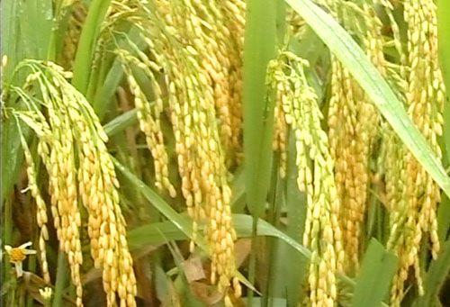 Tiền Giang: Một giống lúa mới chưa được cấp phép đã nhân rộng