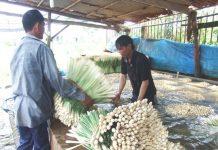 Nông dân huyện cù lao Tân Phú Đông đảy nhanh thu hoạch sả trước khi bão Tembin đổ bộ lên cù lao.