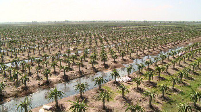 Vườn thanh long trồng theo công nghệ cao, than thiện với môi trường của công ty cát Tường. Ảnh: Trần Liêm