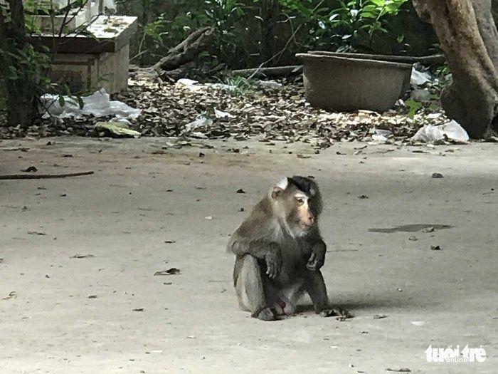 Khỉ đuôi lợn xuất hiện trong khuôn viên nhà của một hộ dân. (Ảnh: Tuoitre)