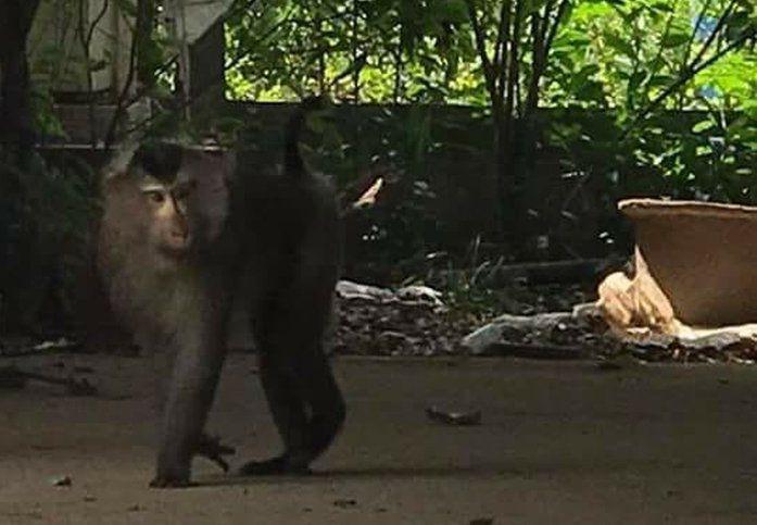 Con khỉ đuôi lợn đi trong vườn nhà một hộ dân. (Ảnh: Tuoitre)