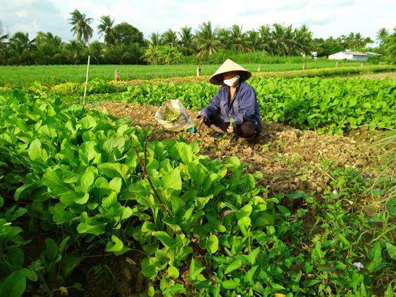 Nông dân Tiền Giang chăm sóc rau trên cánh đồng chuyên canh (Ảnh: MS - TS)