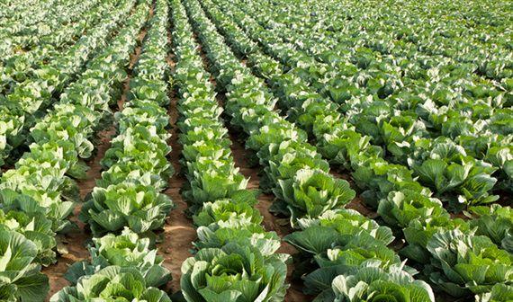Cánh đồng chuyên canh rau huyện Châu Thành được trồng theo quy trình VietGAP (Ảnh: MS - TS)