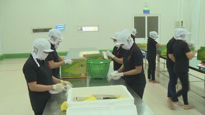 Sơ chế và đóng gói vú sữa tại Công ty Cát Tường. Ảnh: Minh Trí