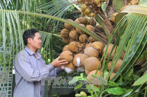 Trồng dừa Mã Lai ở xã Trung Hòa, huyện Chợ Gạo (Tiền Giang). Ảnh: Minh Trí - TTXVN