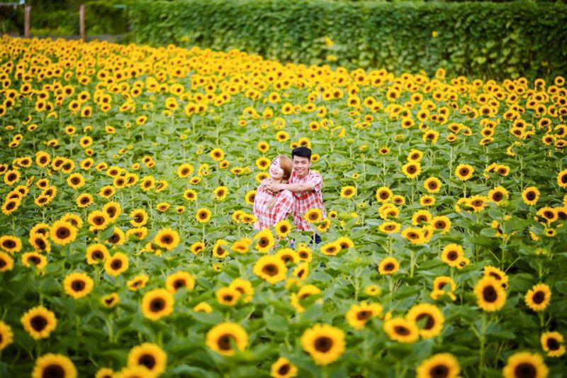 Hoa hướng dương rực rỡ tại vườn hoa Mãn Đình Hồng