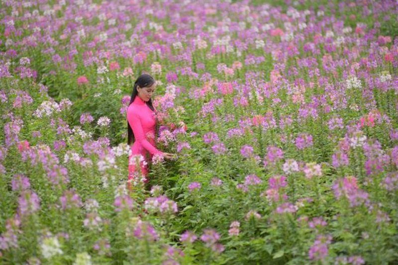 Hoa Hồng Ri – Vườn hoa Mãn Đình Hồng