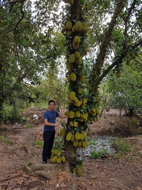Vườn cây trái trĩu quả tại Cái Bè