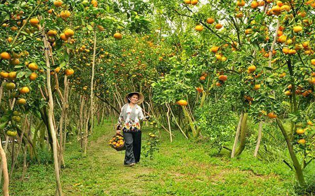 Vườn trái cây Vĩnh Kim Tiền Giang mùa sai trái