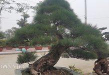 Cây phi lao kiểng của ông Trung đã trên dưới 100 tuổi nên cây có gốc, thân rất cổ thụ.