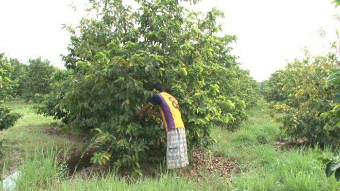 Giá mãng cầu xiêm tại Tân Phú Đông - Tiền Giang giảm mạnh