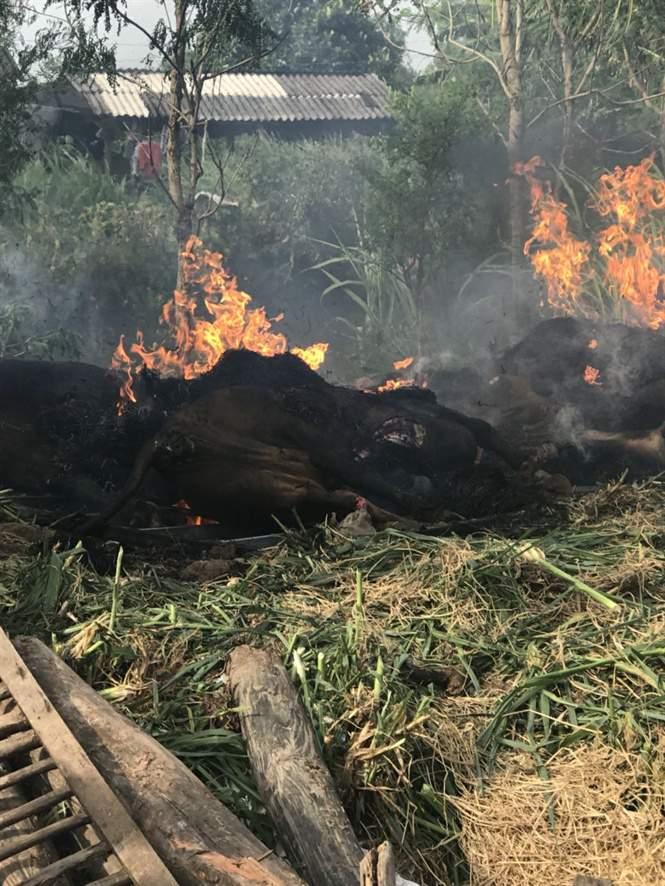 Gò Công Tây tiêu hủy 11 con bò bị lở mồm long móng