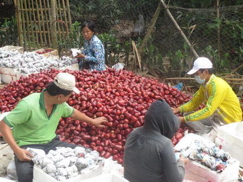 Phân loại và đóng gói mận trước khi chuyển đi xa - Ảnh: Thiên Lộc