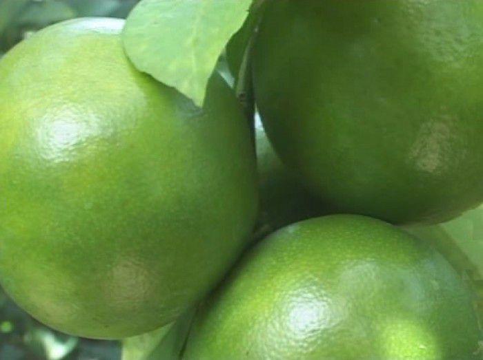 Nông dân Cái Bè chuẩn bị trái cây cung cấp cho thị trường dịp Tết