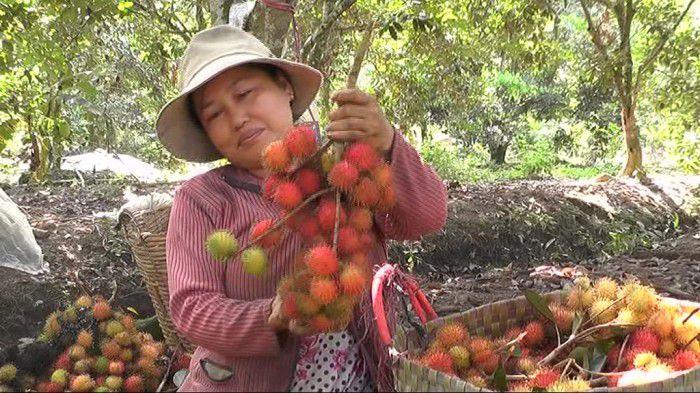 Nông dân cù lao Tân Phong - Cai Lây trúng giá chôm chôm nghịch mùa