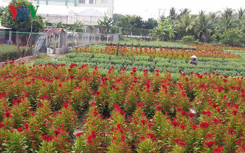 Nông dân làng hoa Tiền Giang phấn khởi vì hoa Tết trúng mùa, được giá