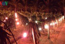 Nông dân Tiền Giang lo lắng năng suất trái cây mùa Tết giảm vì thời tiết
