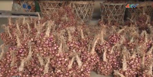 Dù cao điểm thu hoạch cho Tết nhưng giá củ hành tím chỉ còn 12.000 đồng/ kg