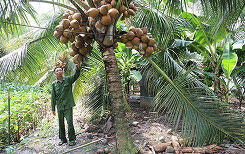 Ông Nguyễn Chơn bên 1 cây dừa Mã Lai đầy trái trái.