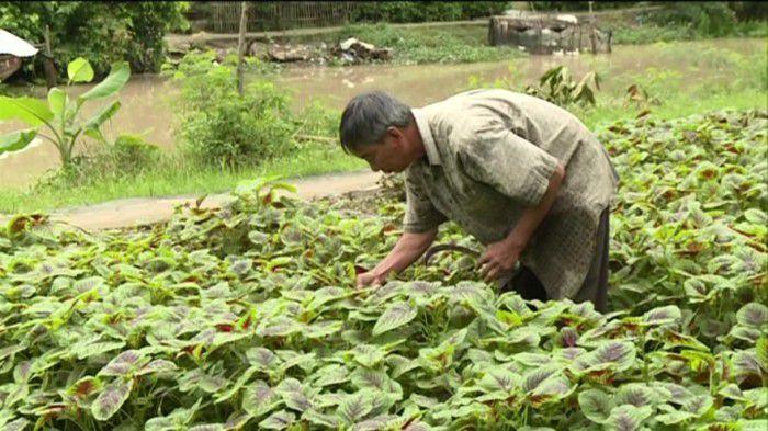 Nông dân thu hoạch rau màu. Ảnh: Lê Long