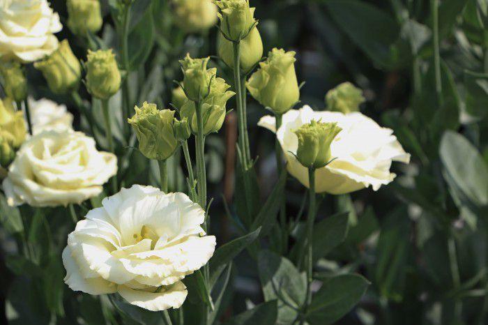 Làng hoa Mỹ Tho rực rỡ sắc màu đón tết Mậu Tuất 2018