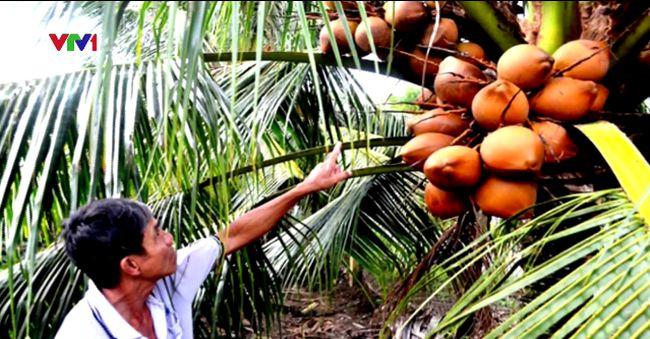 Nông dân Tiền Giang thu nhập khá nhờ trồng dừa Mã Lai