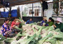 Nông dân Phú Đông (Tiền Giang): Tăng thu nhập từ trồng sả