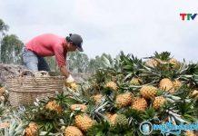 Giá dứa liên tục giảm mạnh, nông dân Tiền Giang thất thu