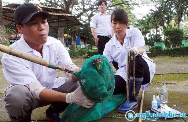 Kinh hoàng khi đút thức ăn tận miệng rắn hổ mang chúa tại Tiền Giang
