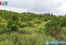 Mô hình trồng cây sả xen với mãng cầu Xiêm ở Tiền Giang cho thu nhập cao