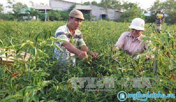 Mở rộng diện tích cây màu trên đất nhiễm mặn Gò Công, Tiền Giang