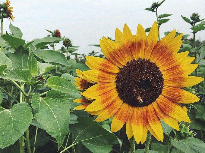 Khu trồng hoa hướng dương nổi bật trong vườn vì có màu vàng bắt mắt, cây cao. Tuy nhiên hoa này hiện sắp tàn.