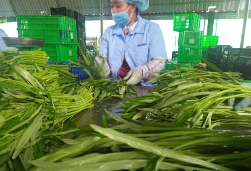 Sơ chế rau muống tại xưởng sơ chế của HTX Rau an toànGò Công. Ảnh: Hương Giang