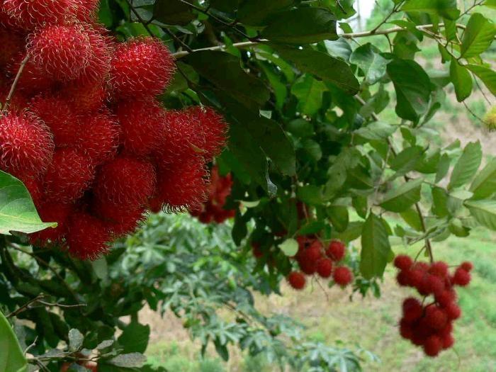 vườn trái cây vĩnh long