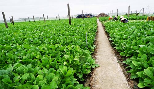 Trên che phủ lưới, dưới làm đường đi sạch sẽ tạivườn rau cải an toàn tại Gò Công Đông. Ảnh: Hương Giang