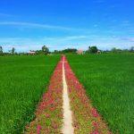 Sự tích con đường hoa mười giờ đẹp như tranh vẽ ở Gò Công - Tiền Giang