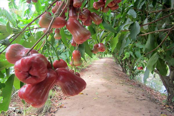 Cái Bè được xem là một trong những vựa trái cây lớn nhất Đồng bằng sông Cửu Long. Ảnh: ST