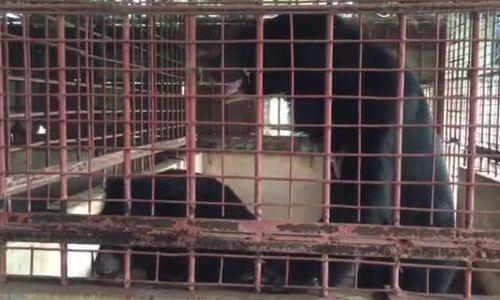 Hành trình cứu hộ 5 cá thể gấu ở Tiền Giang