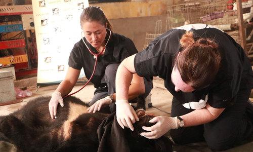 6 giờ cứu hộ năm cá thể gấu nuôi nhốt ở Tiền Giang