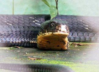 Con hổ mang chúa 15 tuổi, nặng 12 kg, dài gần 4 m được nuôi dưỡng tại trại rắn Đồng Tâm (xã Bình Đức, huyện Châu Thành, Tiền Giang). Ảnh: Trường Giang.