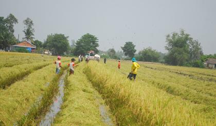 Nông dân xã Mỹ Thành Bắc (huyện Cai Lậy) thu hoạch lúa hè thu 2018.