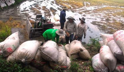 Người dân vận chuyển lúa ra bờ đê.