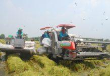 Các huyện phía Tây:Thu hoạch lúa hè thu chạy lũ