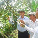 Đồng chí Lê Văn Hưởng thăm vườn vú sữa của nông dân.