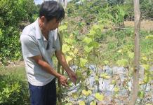 Đám dưa leo của ông Nguyễn Văn Tùng bị thiệt hại do nước ngập.