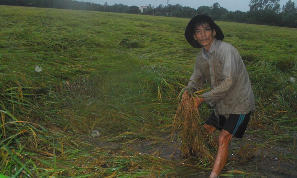 Nông dân xã Tăng Hòa (huyện Gò Công Đông) buồn khi lúa sắp thu hoạch nhưng bị ngã đổ.
