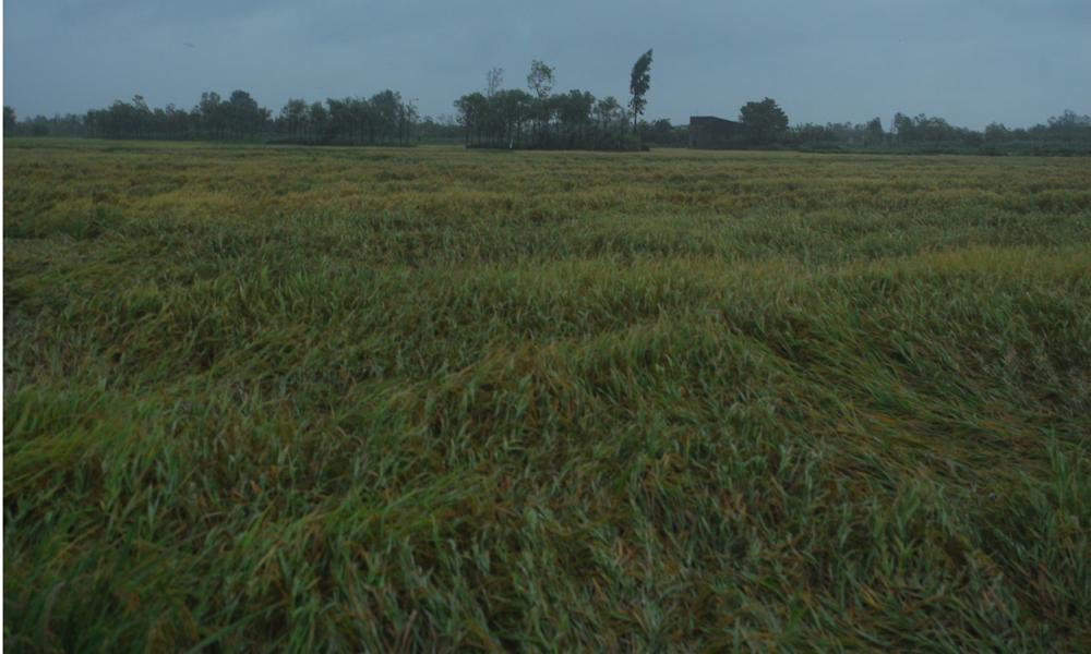 Đa số diện tích lúa Thu Đông 2018 sắp thu hoạch đều bị ngã đổ.