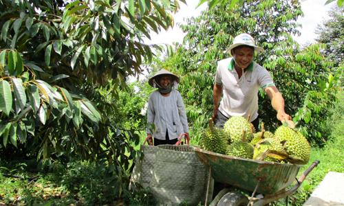 Nông dân xã Cẩm Sơn thu hoạch sầu riêng.