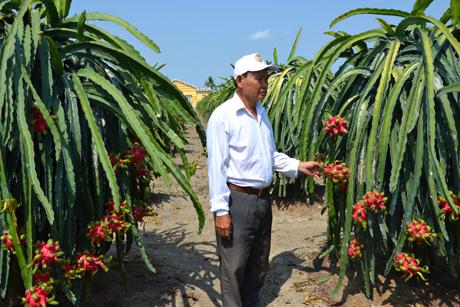 Diện tích trồng thanh long trên địa bàn tỉnh tăng nhanh tring thời gian gần đây.